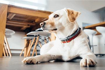 拉布拉多犬起名字大全公