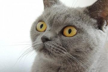 灰色的猫叫什么名字
