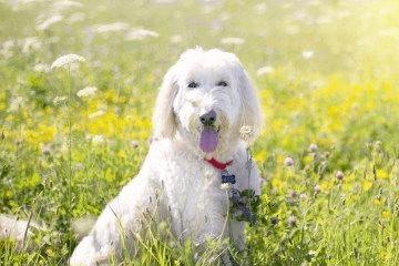 最洋气的公泰迪狗名字