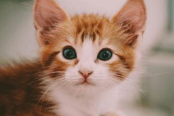 美短猫名字大全洋气的